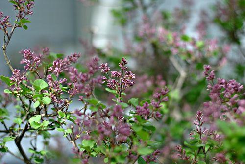 Lilacbud